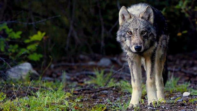 Video «Peter Dettling und die Rückkehr der Wölfe» abspielen