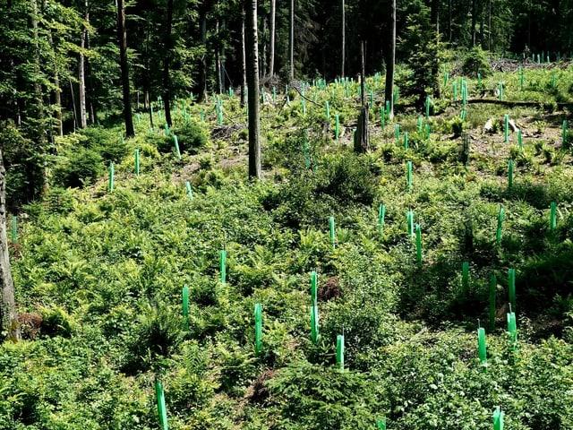 Eine Waldlichtung mit altem Baumbestand und Jungbäumen in grünen Röhren.