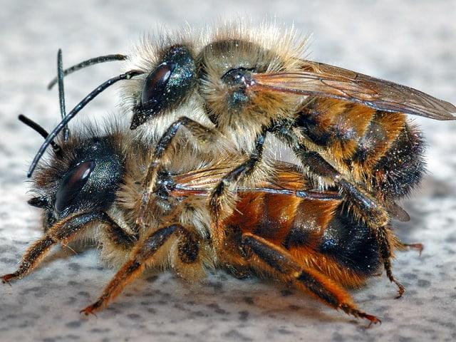 Zwei Mauerbienen