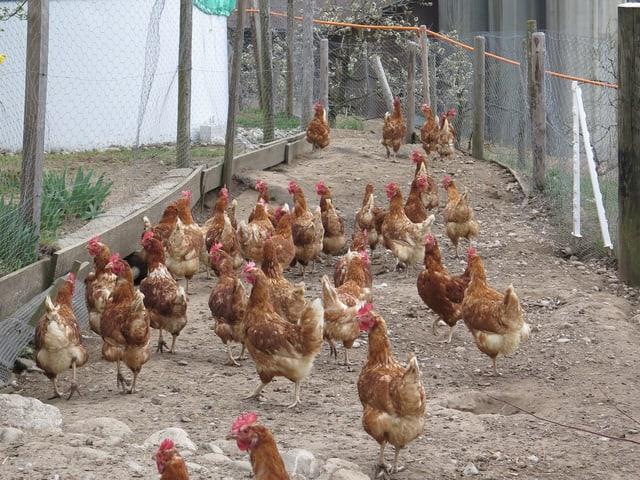 Hühner im Freilaufgehege