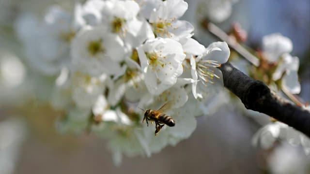 Eine Biene fliegt zur Blüte eines Apfelbaumes.