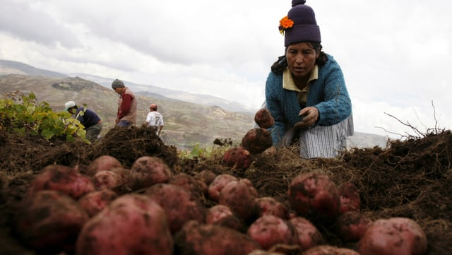 Eine Frau mit Pudelmütze wirft Kartoffeln auf einen Haufen.