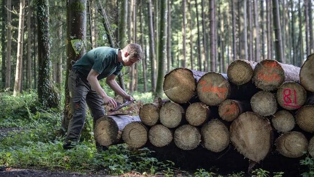 In einem Wald im Luzerner Seetal untersucht ein Förster die Rinde des Schlagholzes.