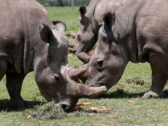 Zwei Nashörner fressen