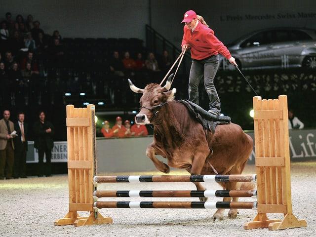 Kuh Sybille springt über Pferde-Hindernisse.