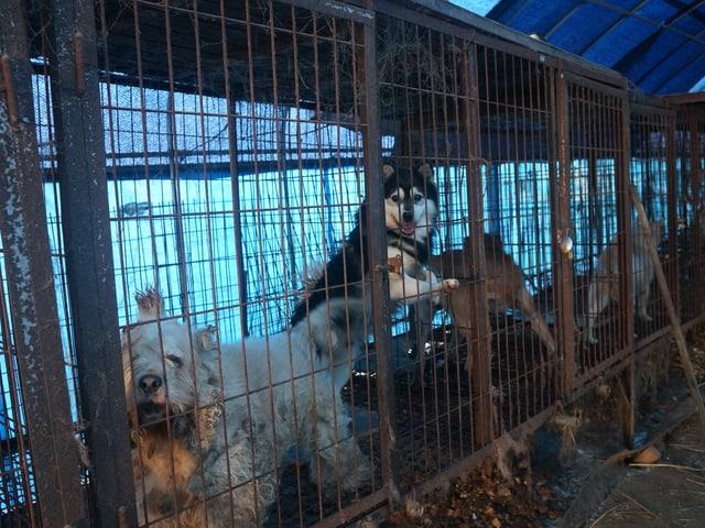 Die Haltungsbedingungen für Schlachthunde in Südkorea sind katastrophal.