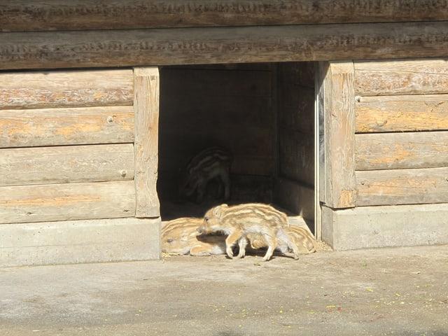 Wildschwein-Frischlinge liegen in der Sonne.