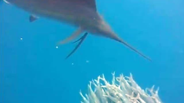 Fächerfisch nähert sich einem Sardinenschwarm