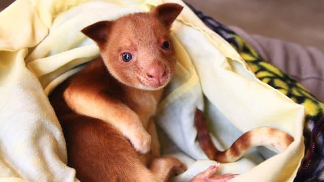 Ein junges Känguru liegt auf einer weichen gelben Decke.