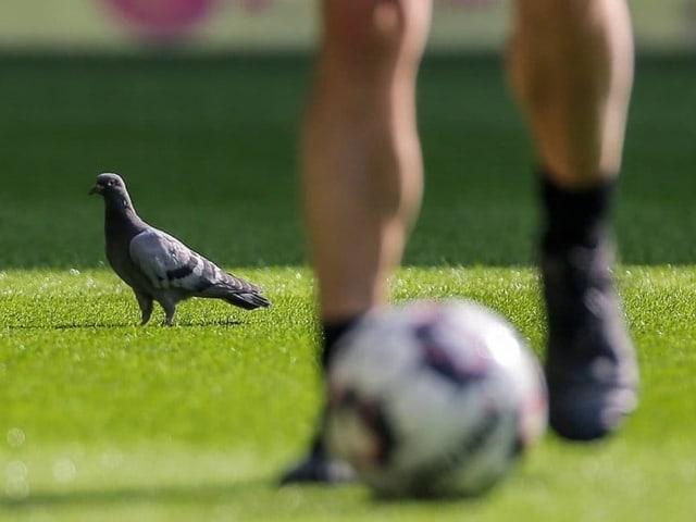 Eine Taube sorgte in Dortmunds Stadion für Aufregung.