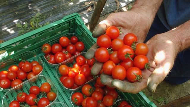 Ein Landarbeiter präsentiert frisch gepflückte Cherry-Tomaten.