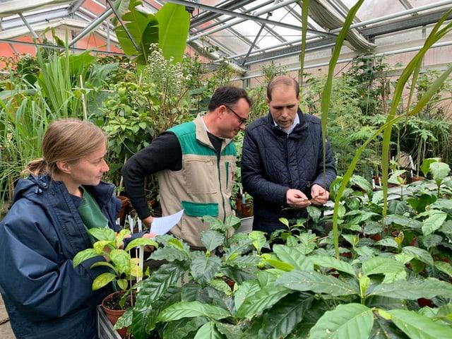 Drei Experten bestimmen zusammen Kaffeepflanzen.