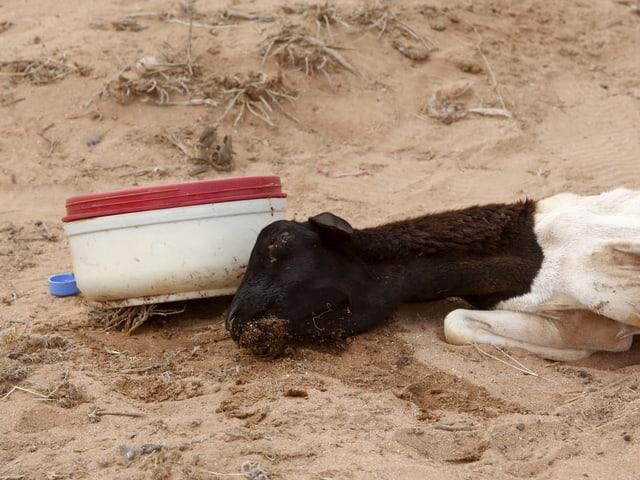 Ein verdurstetes Schaf liegt im Wüstensand.