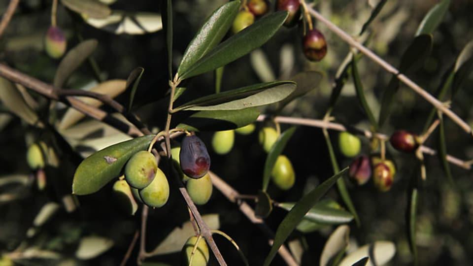 Traditionell kleine Taggiasca-Oliven kurz vor der Ernte.