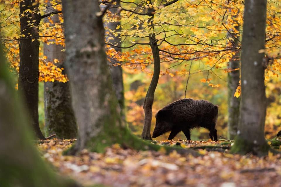 Thurgau bekämpft Tierseuche