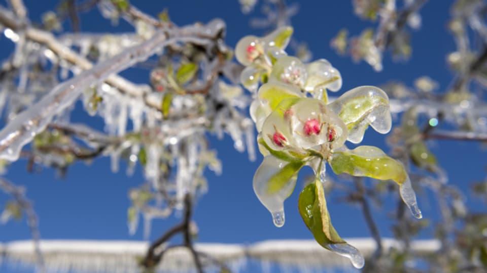 Der Frost hat den Obstbäumen zugesetzt.
