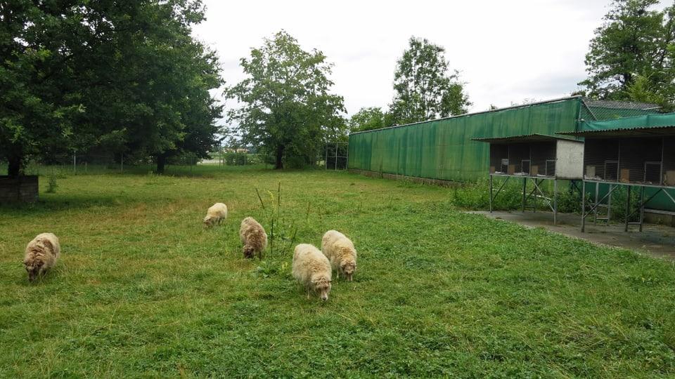 Unmittelbar neben einer Schafherde wurde die Luchsin Luna aufgezogen.