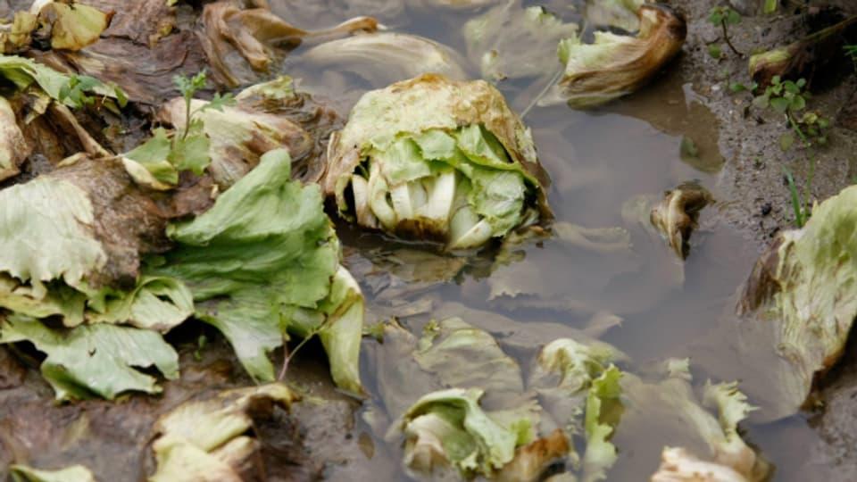 Salatköpfe unter Wasser – das Wetter sorgt teilweise für einen Ernteausfall