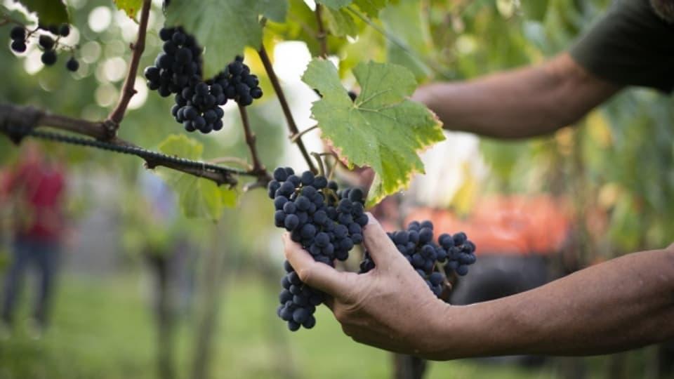 2016 hat der Branchenverband Graubünden Wein das Ziel formuliert, dass bis 2020 auf mehr als der Hälfte der Rebfläche biologisch produziert werden soll.