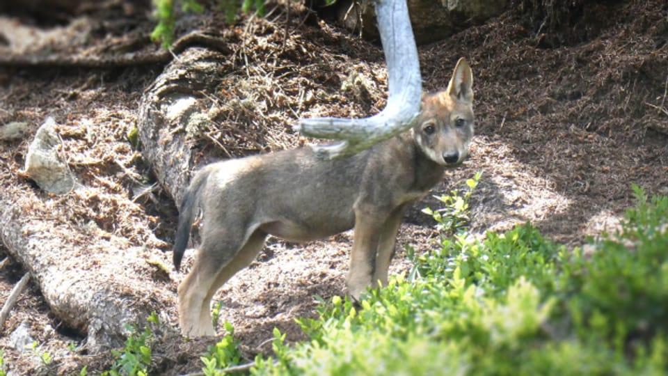 Es gibt verschiedene Standpunkte zum Thema Wolf