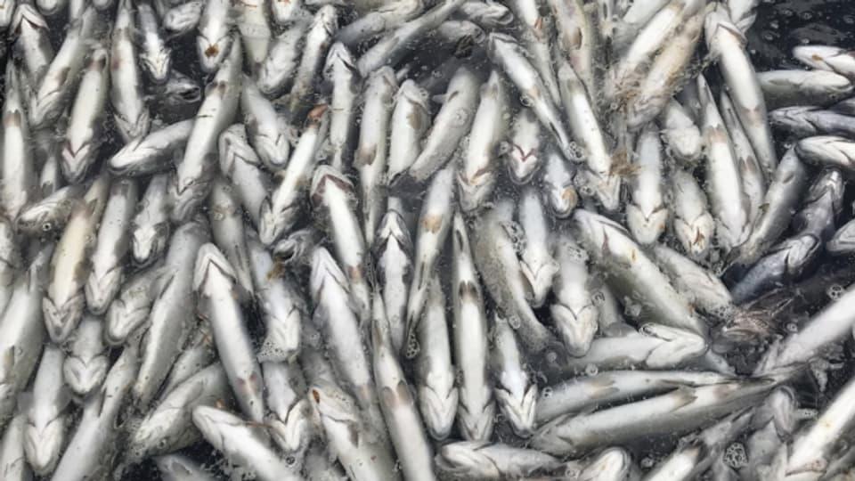 Seit 2018 starben immer wieder Fische im Blausee. Der Grund ist unbekannt.
