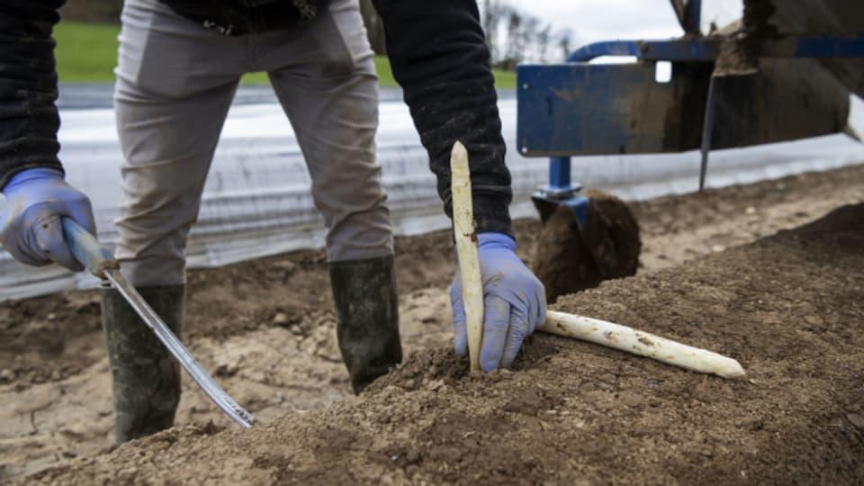 Die helfenden Hände auf den Feldern kommen wieder vorwiegend aus dem Ausland.