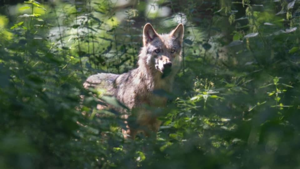 Graubünden will seinen Wolfsbestand regulieren.