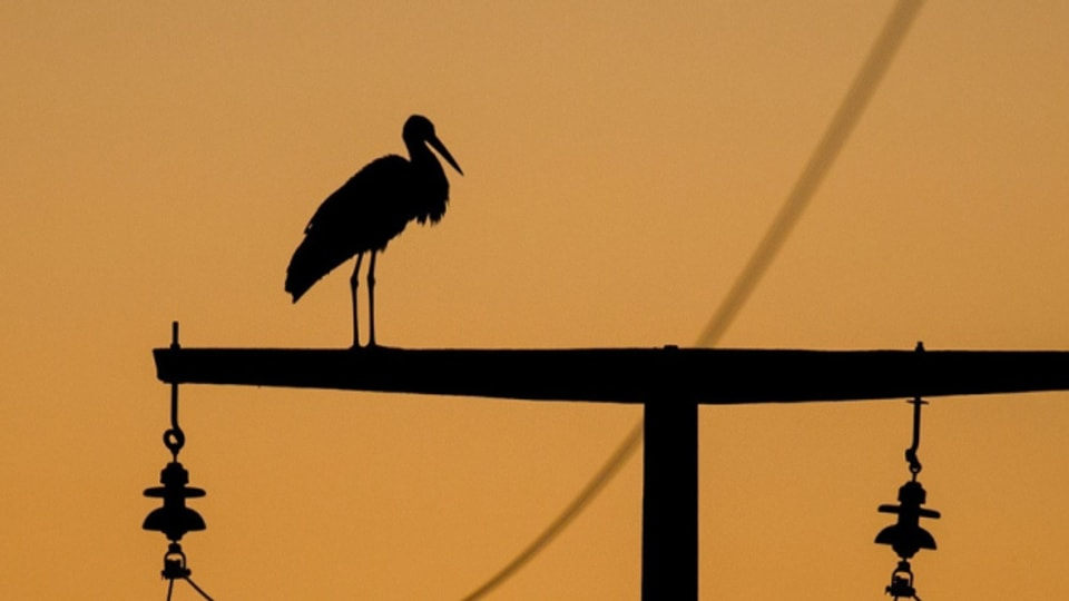 Stromleitungen werden für Vögel immer wieder zur Todesfalle.