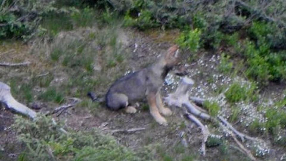Vier Jungwölfe wurden zum Abschuss freigegeben, zwei davon hat die Wildhut bereits erlegt.