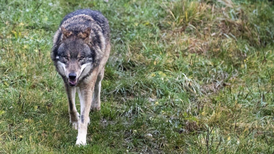 Wölfe im Rheintal und Appenzellerland