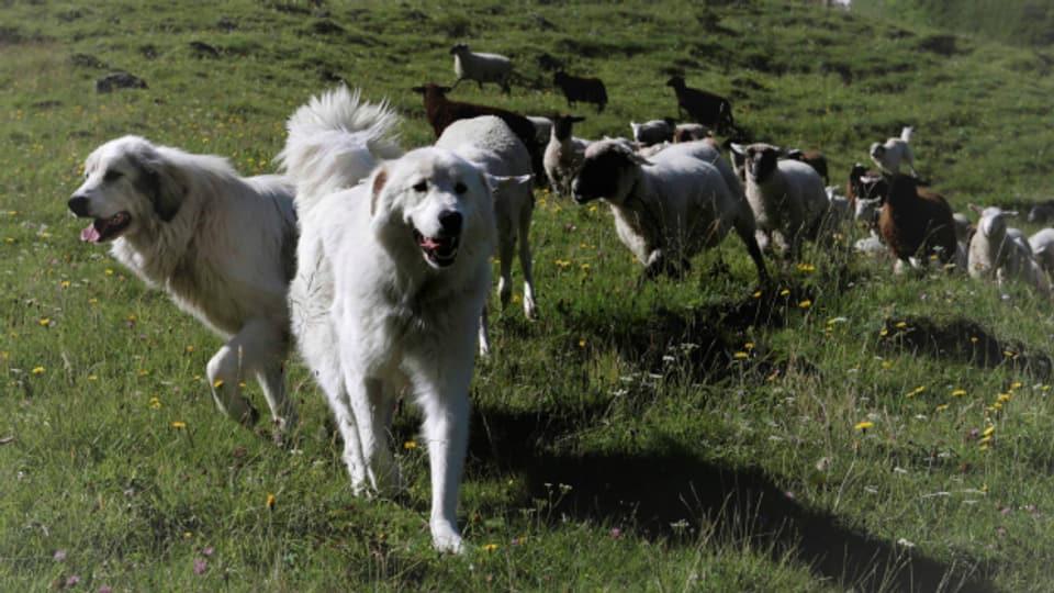 Zwei Herdenschutzhunde wurden im Weisstannental im Kanton St. Gallen schwer verletzt aufgefunden