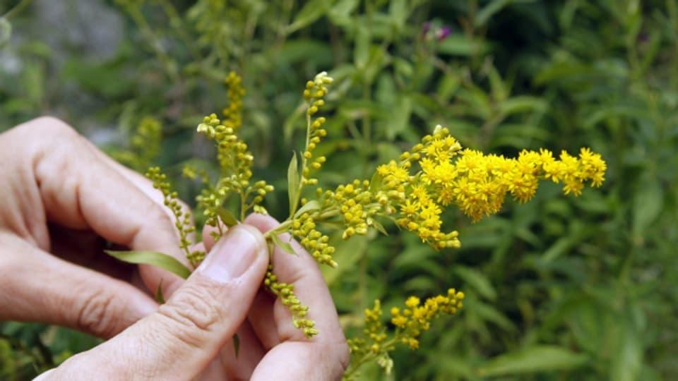 Neophyten – wie die Goldrute auf diesem Bild – verdrängen einheimische Pflanzen.
