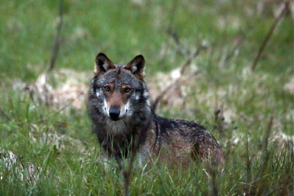 Im Bündner Oberland werden immer wieder Wölfe gesichtet
