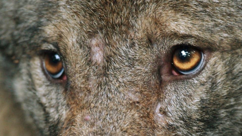 Wolf/Symbolbild