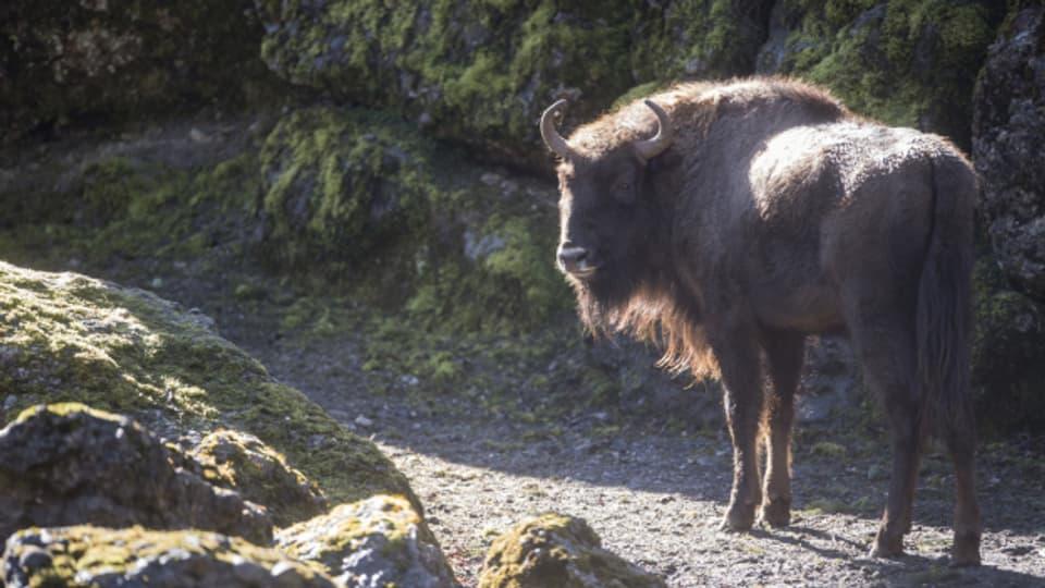 Il bison europeic en Svizra.
