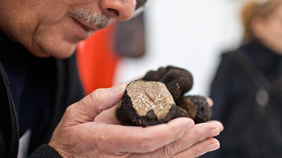 Begehrtes Objekt: Burgunder-Trüffel aus den Schweizer Wäldern am Trüffelmarkt in Bern.