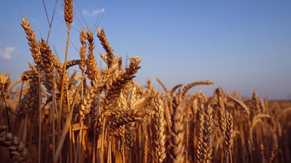 Gluten ist ein natürliches Klebemittel im Weizen.