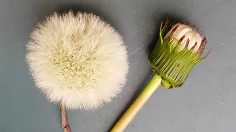 Damit eine haltbare Pusteblume draus wird, muss der Löwenzahn im Stadium rechts gepflückt werden. Hier wurden die verwelkten gelben Blütenblätter und die grünen Kelchblätter bereits entfernt.
