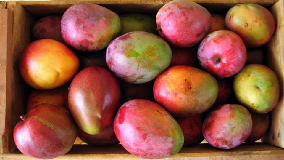 Reife Mangos können je nach Sorte ganz verschiedene Farben haben.