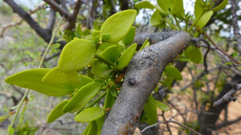 Junge Misteln an einem Apfelbaum.