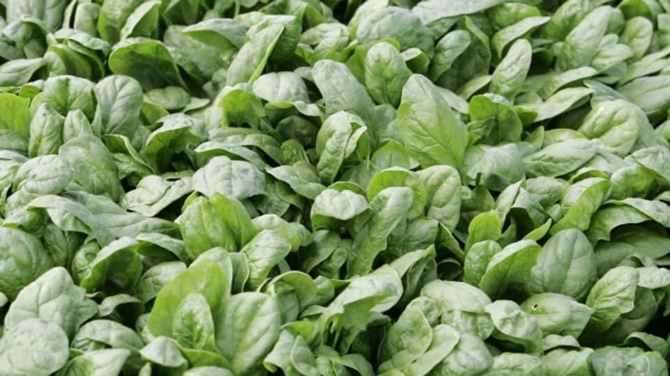 Die Herbst- und Wintersorten des Spinats sind grossblättrig, langstielig und kräftiger im Geschmack.