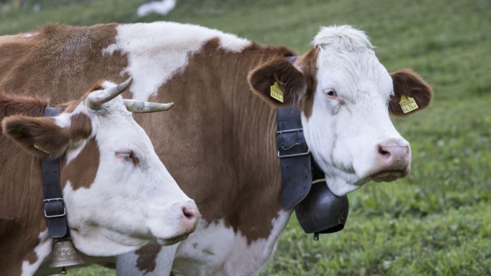 Ob mit oder ohne Hörner - zwei Kühe auf dem Simplon im Wallis diesen Sommer.Kühe auf dem Simplon im Wallis auf der Weise.