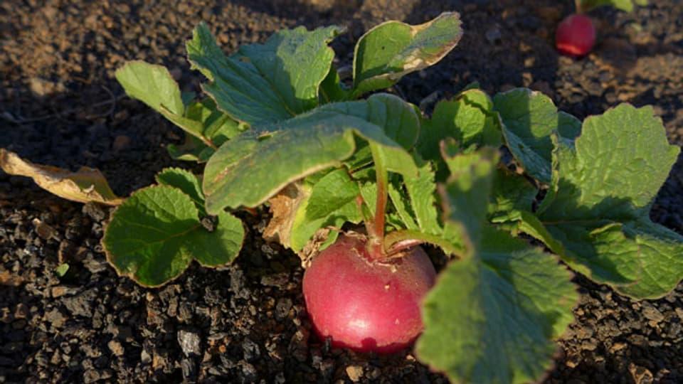 Radieschen aus dem eigenen Garten schmecken mindestens doppelt so gut, nicht?