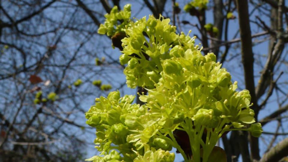 Menschen, die auf Hasel oder Birke allergisch sind, pflanzen lieber Alternativen wie Ahorn.