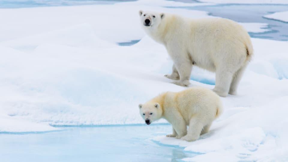 Eisbären haben ein weisses Fell, darunter aber schwarze Haut