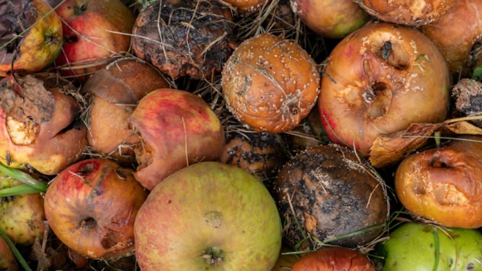 Schade! Diese Äpfel hätten eigentlich auf unseren Tellern landen sollen.