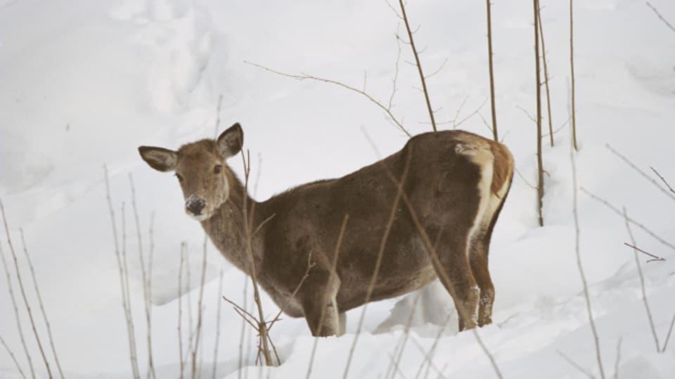 Wildtiere müssen im Winter ihre Energie sparsam einsetzen.