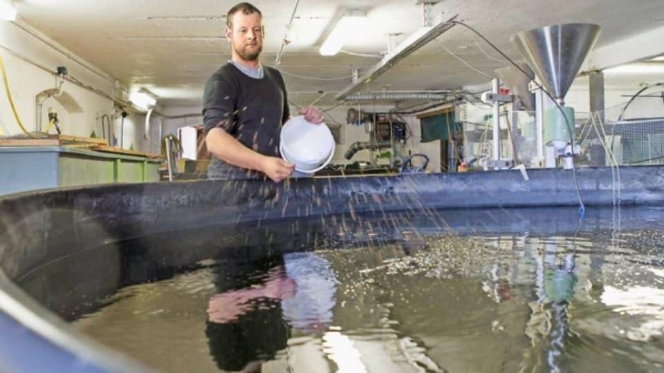 Fischproduzent Niklaus Jenni, Bangerten (BE) füttert seine Karpfen auch von Hand