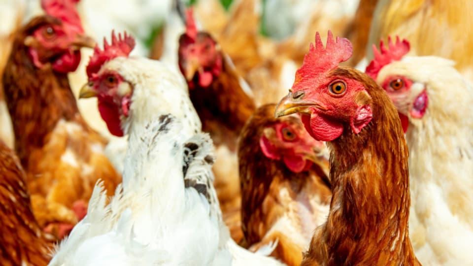 Glückliche Hühner im Freilauf.