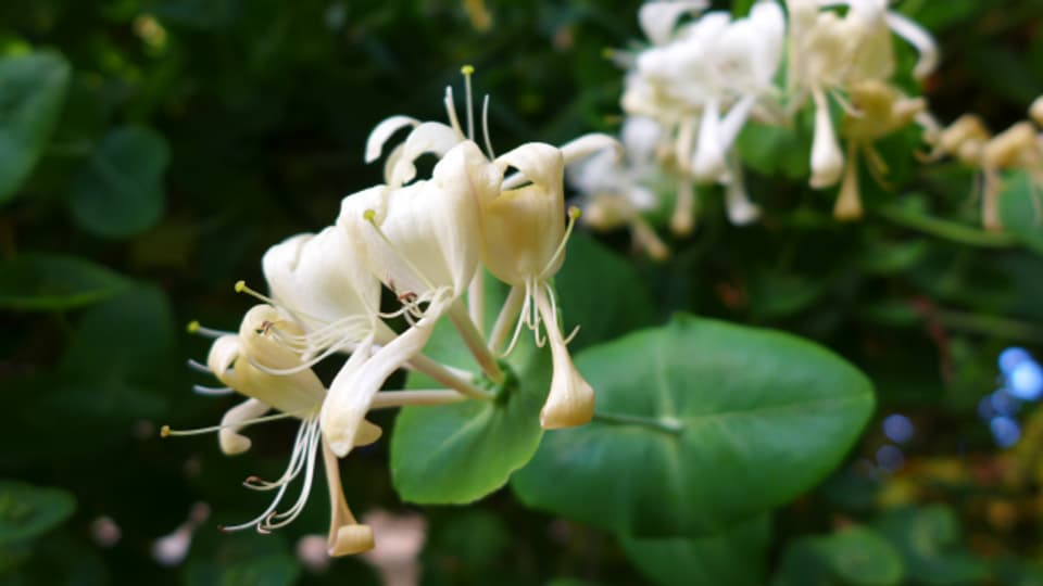 Die Blüte des Wald-Geissblatts
